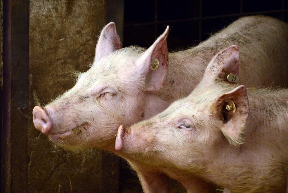 Африканска чума има на четири фарми за свињи во Србија