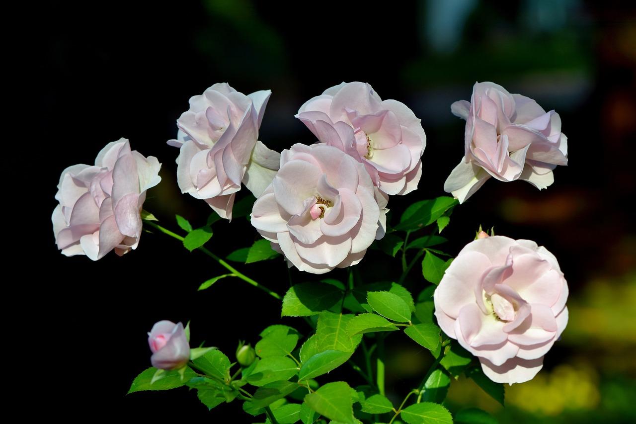 Чајот од роза ја ублажува главоболката