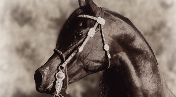 Desperado-V-Arabian-Champion-3