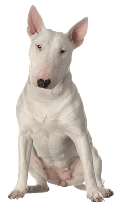 Bull Terrier Cards Birthday Thank You Holidays & More