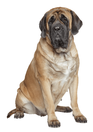 English Mastiff Christmas Cards Sloppy Kiss Cards