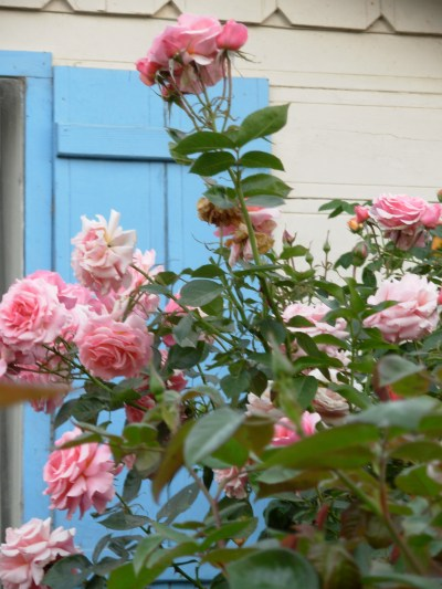 cottage-roses