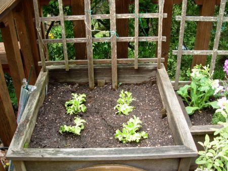 garden-lettuce