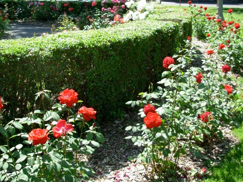 rosehedge