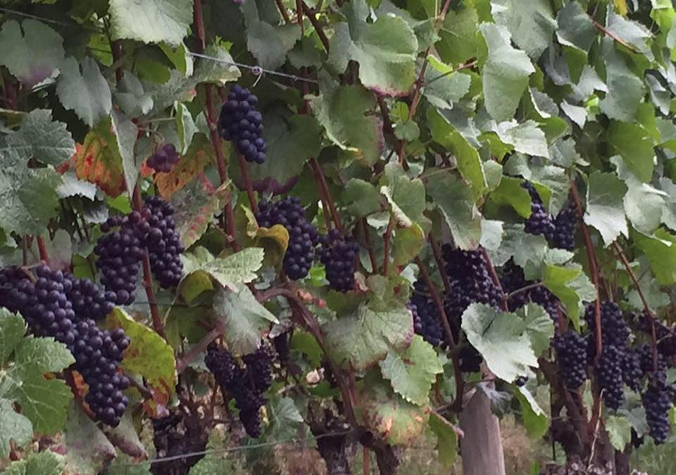 """Weinanbaugebiet """"Hoelt"""" an der Sauer"""