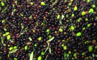 Dégustation d'huiles d'olive européennes