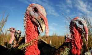 Heritage Turkeys