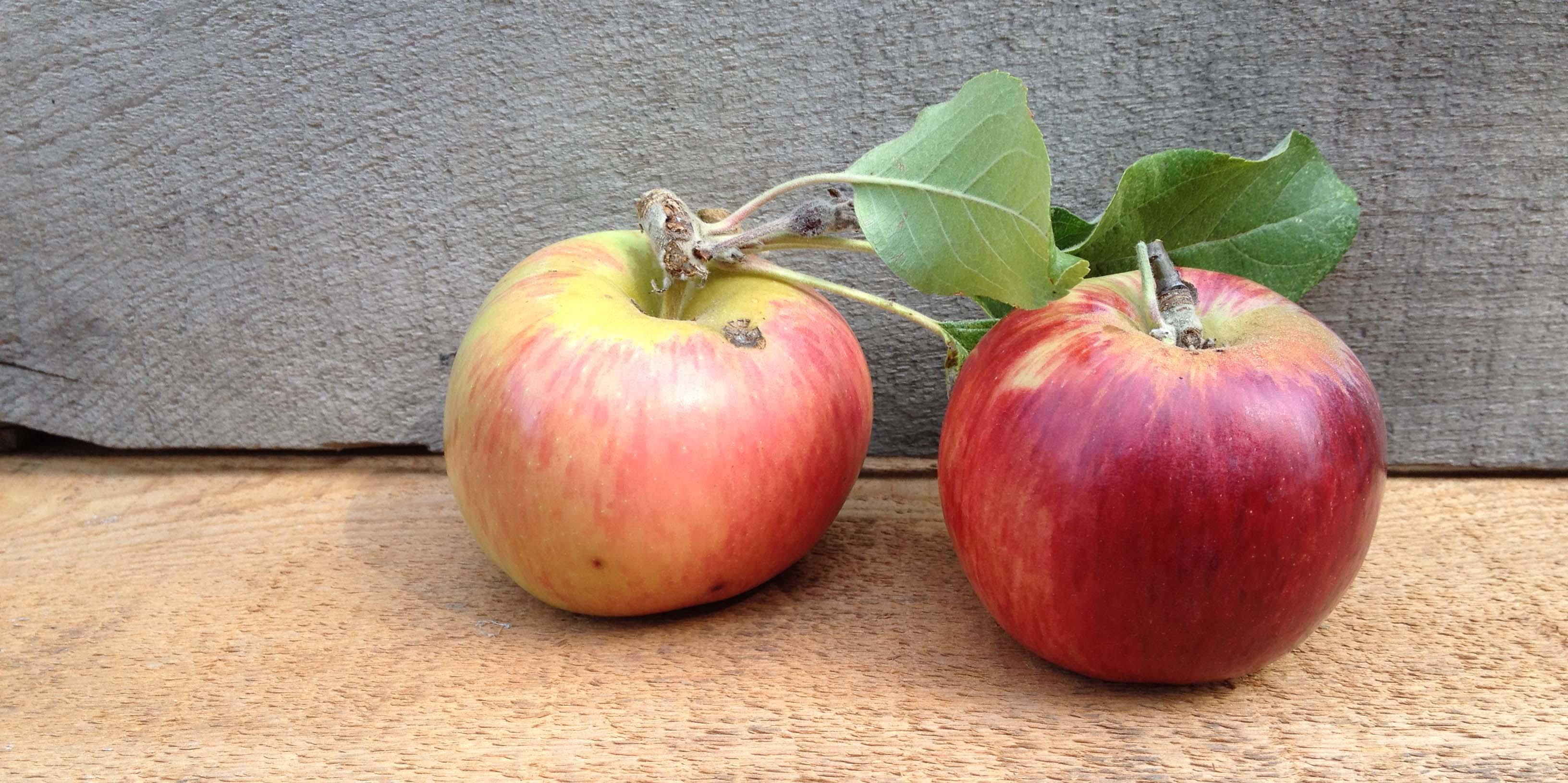 The endangered Gravenstein Apple
