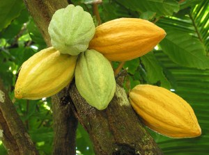 Cocoa pods on the tree, Grenada, West Indies.