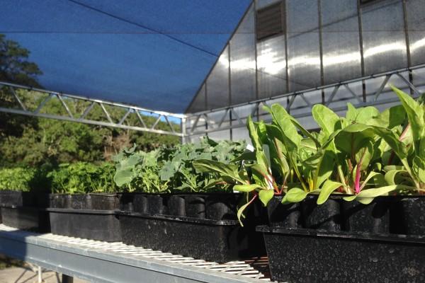 Starts in the greenhouse at Flatbed Farm in Glen Ellen.