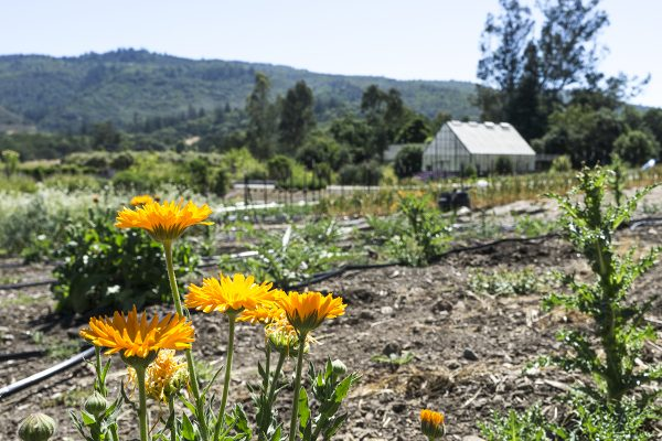 13450 Sonoma Highway 12, Glen Ellen, CA 95442 – Field with IPM flowers and greenhouse in the back