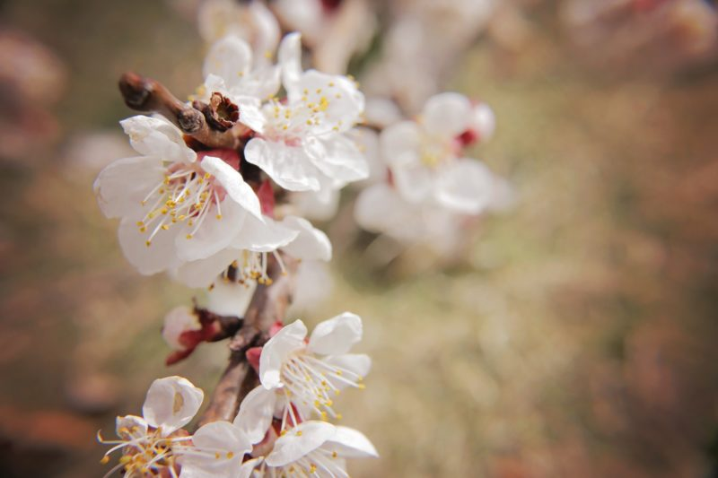 What Spring Does with the Cherry Trees - Slow Muse
