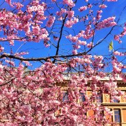 Where to see cherry blossoms in Stockholm