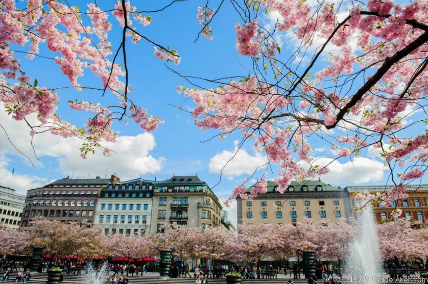 2015_CherryBlossoms_023