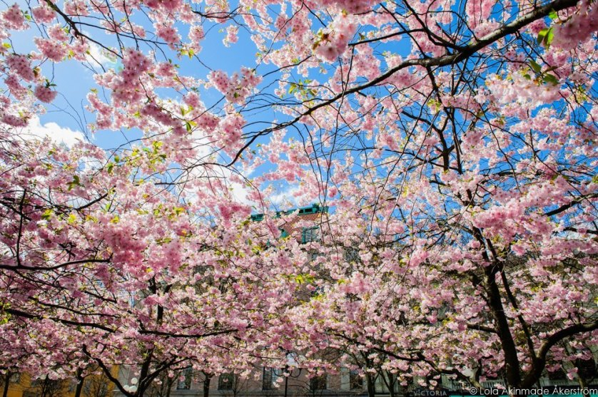 2015_CherryBlossoms_035