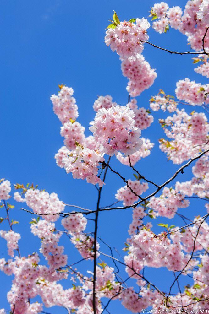 2015_CherryBlossoms_037