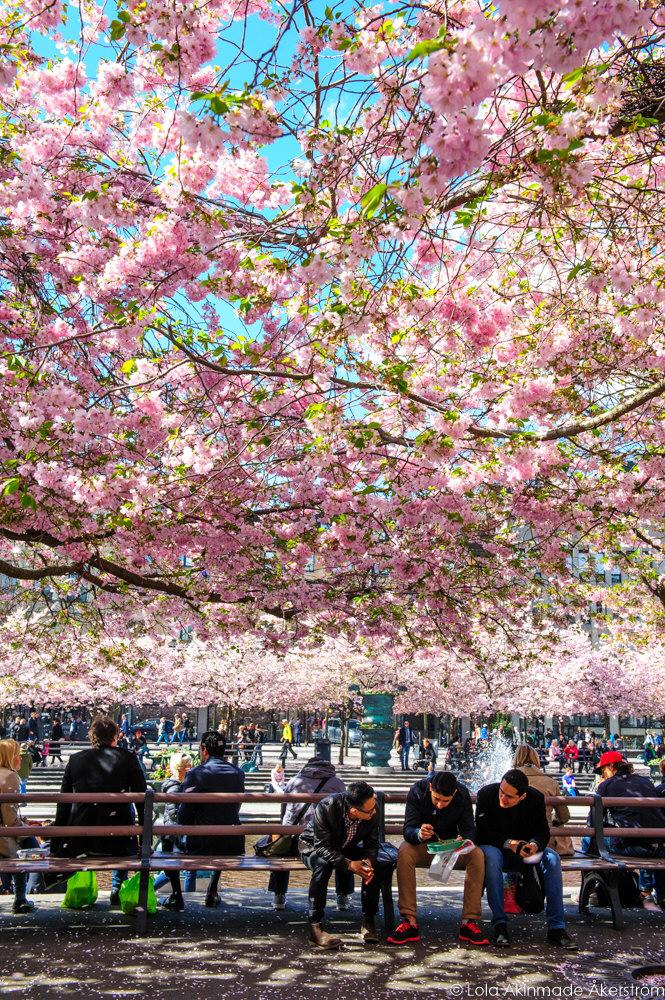 2015_CherryBlossoms_046