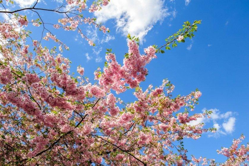 2015_CherryBlossoms_056