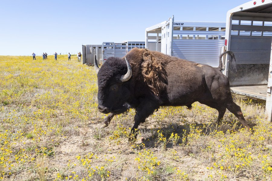 55 yellowstone bison moved