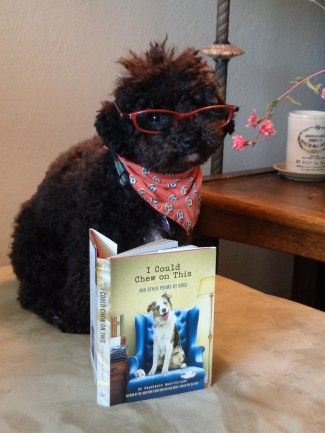 Small Poodle at Large | Harper B. | Dog Blog | Canine Lit