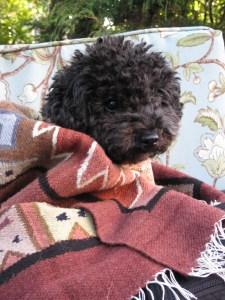 Small Poodle at Large   Harper B.   Dog Blog  Medicine Dog