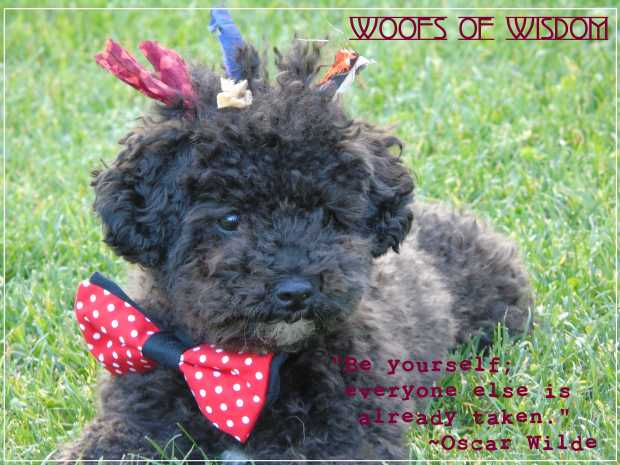 Small Poodle at Large | Harper B. | Dog Blog | Woofs of Wisdom