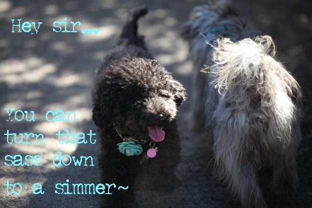 Small Poodle at Large | Harper B | Dog Blog | Secret Bark