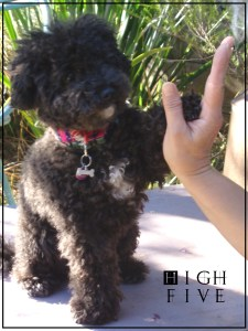 Small Poodle at Large | Harper B. | Dog Blog | High Five