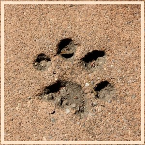 pawprint-in-cement-600x600
