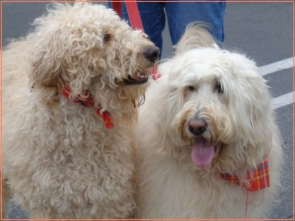 """These two doodles are beautiful inside and out. They have a curly glow."""