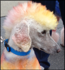 Small Poodle at Large | Punk Rock Poodle