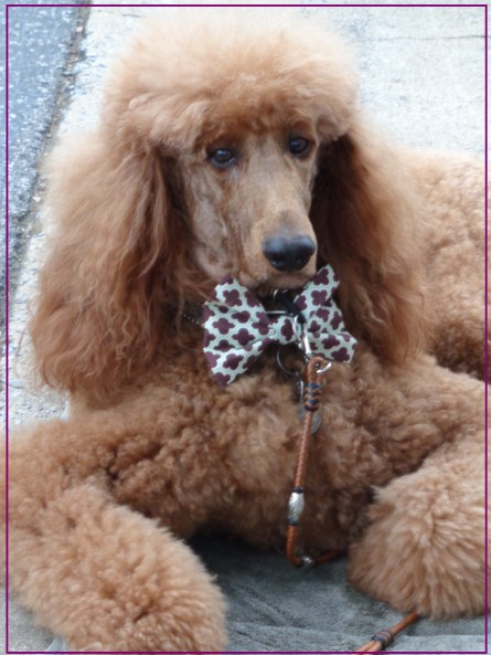 Small Poodle at Large | Poodle Day