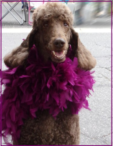 Small Poodle at Large   Poodle Day
