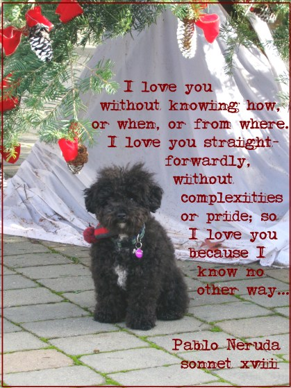Holiday Wish | Harper B. | Small Poodle at Large