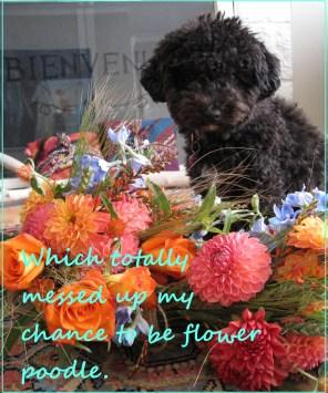 Small Poodle at Large | Harper B. | Secret Bark