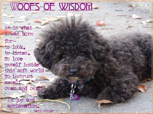 Harper B. | Small Poodle at Large | Woofs of Wisdom