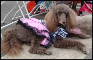 Can-Can Dancer Poodle. She's so French!
