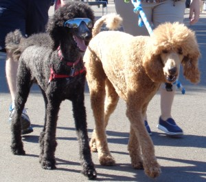 Rock Stars were in attendance! Here are the Mick Jagger and Keith Richards poodles.