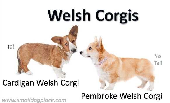 ความแตกต่างระหว่าง Pembroke Wales Corgi และ Cardigan Welsh Corgi