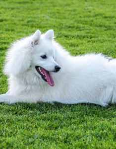 History also japanese spitz dog breed information rh smalldogplace