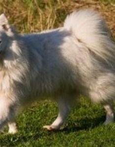 Japanese spitz also dog breed information rh smalldogplace