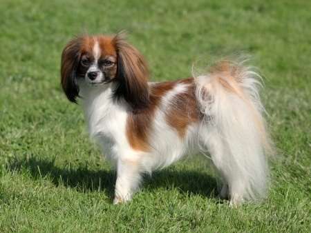 Phalene Or Papillon Small Dogs