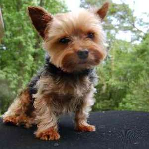 20 Tiny Dogs That Stay Small Forever World S Smallest Breeds