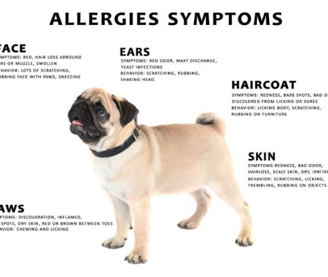 Dog Allergies Symptoms