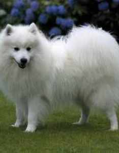 Japanese spitz also dog breed information rh smalldogplace