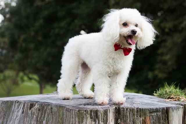 Toy Poodle Is This The Right Breed For You