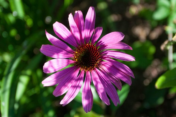 echinacea in autumn
