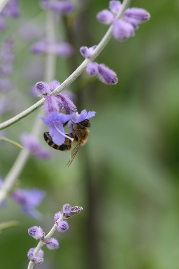 Bees on Nepeta - Cat Mint