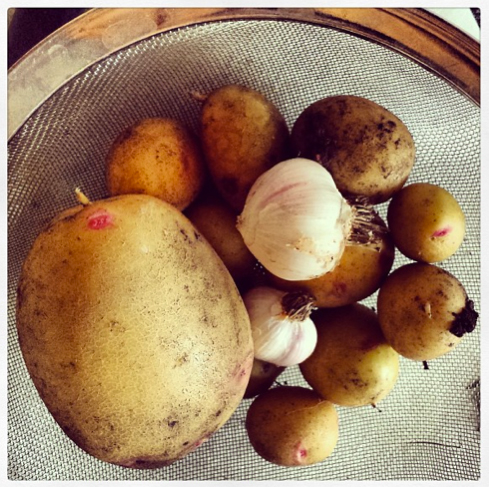 Grow your own potatoes and garlic - Picasso Potatoes and Cristo Garlic