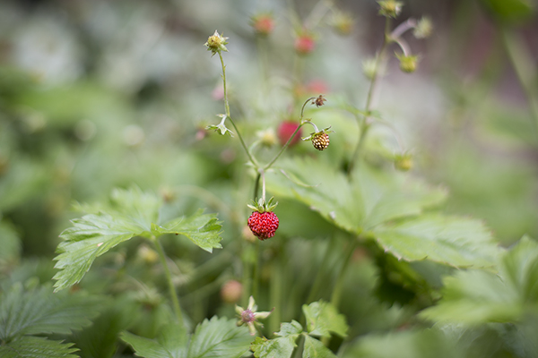 small alpine strawberries